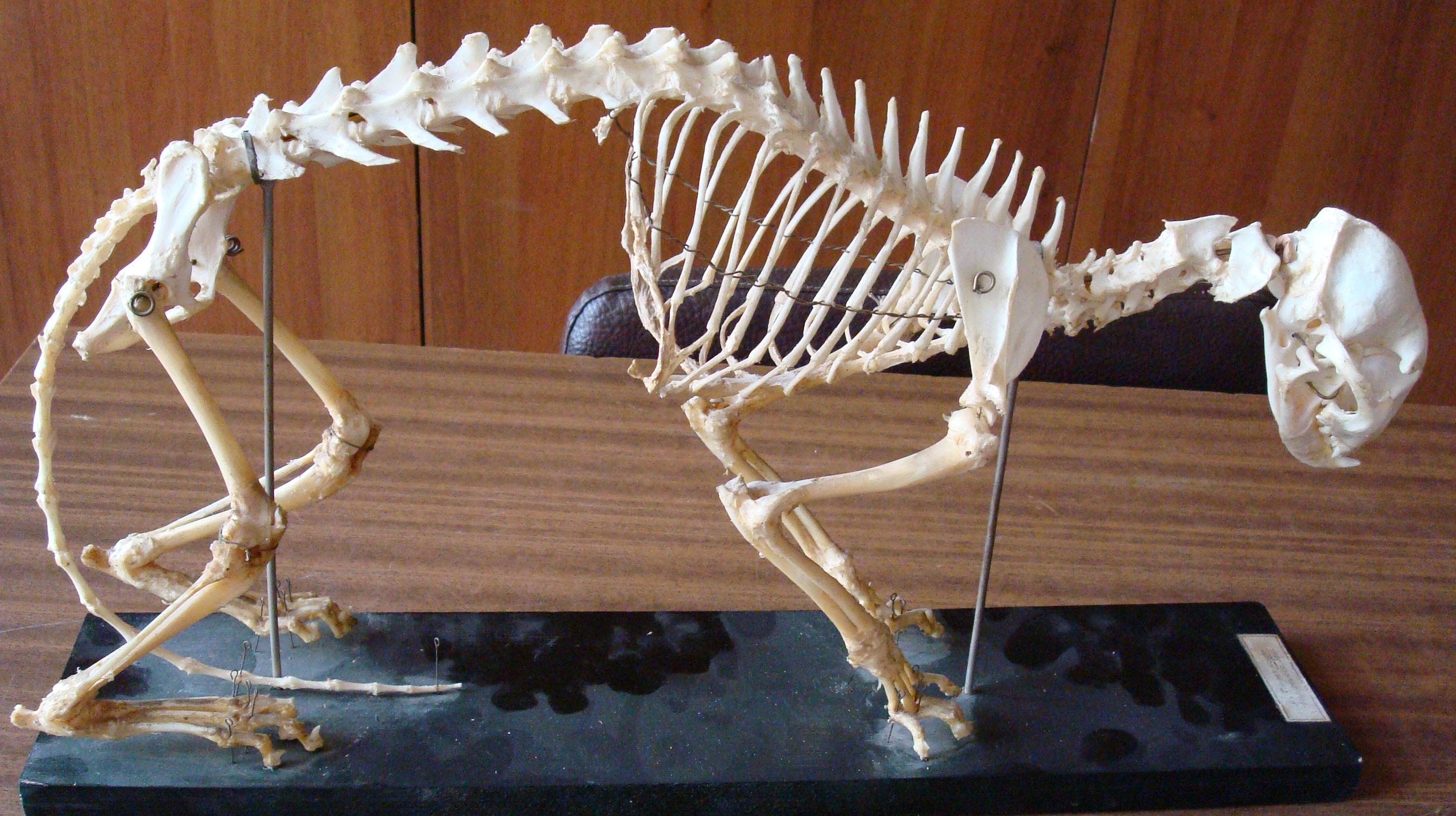Скелет кошки состоит из большего