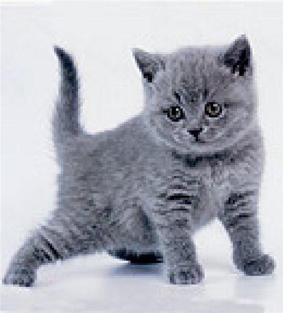 Британские котята из московского питомника (доставка)
